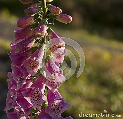 Free Foxglove Digitalis Purpurea Royalty Free Stock Photo - 49734955