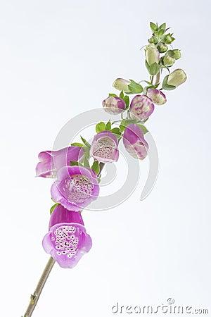 Free Foxglove Digitalis, Purpurea Stock Images - 74197924