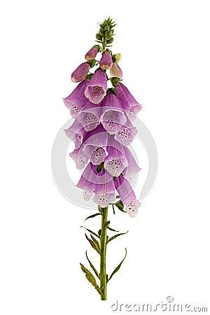 Free Foxglove, Digitalis Purpurea. Royalty Free Stock Photos - 94122418