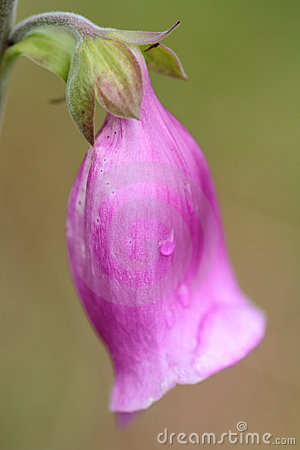 Free Foxglove (Digitalis Purpurea) Close-up Stock Images - 21150714