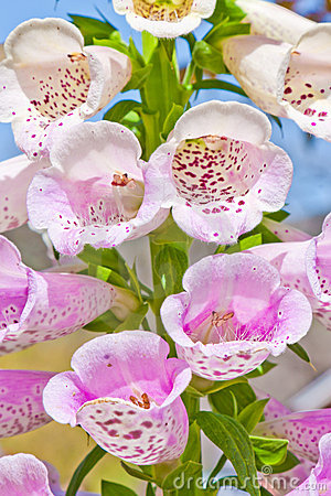 Free Foxglove Flower Stock Photos - 19191693