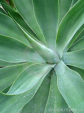 Free Foxtail Agave Stock Photography - 1107642
