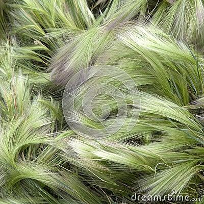 Foxtail Barley (Hordeum Jubatum)