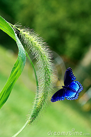 Free Foxtail Grass And Butterfly Royalty Free Stock Photography - 5121877