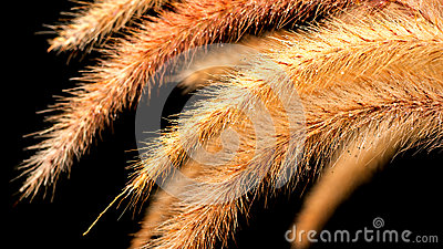 Foxtail Grass on black background