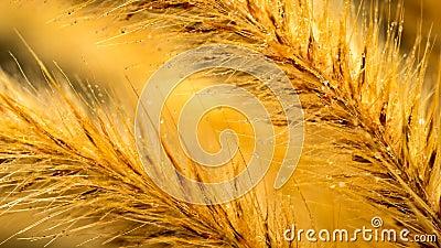 Foxtail Grass Flower Macro