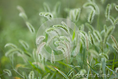 Foxtail grass under the sunshine