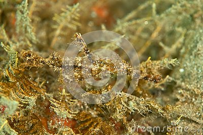 Fozzy ghost pipefish