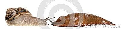 För rufuskula för arion trädgårds- röd snail