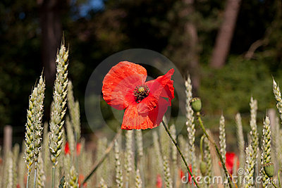 Fragile paper thin petals on scarlet poppy