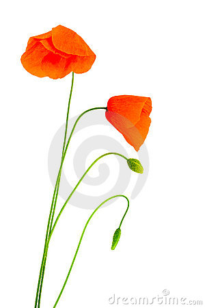 Fragile poppies
