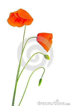 Fragile poppies