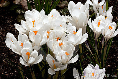 Fragile white crocus flowers