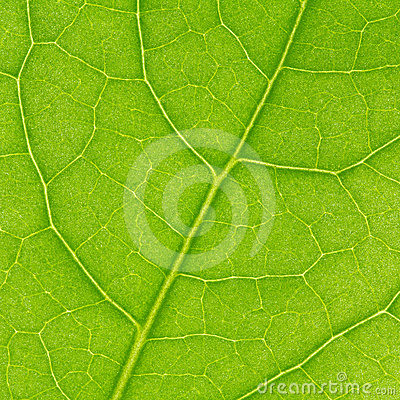 Fragment of green leaf