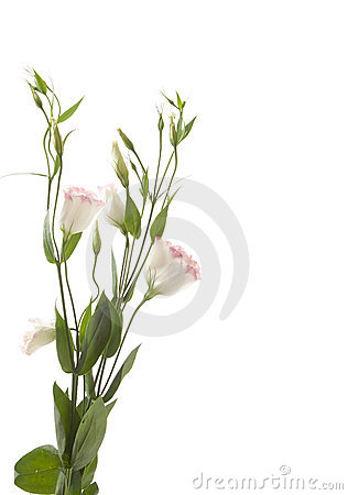 A fragment of pale  flowers isolated on white