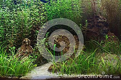 Fragment of the planted  aquarium