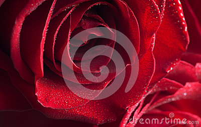 Fragment of red rose