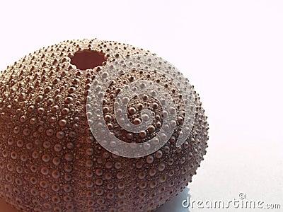 Fragment of sea hedgehog