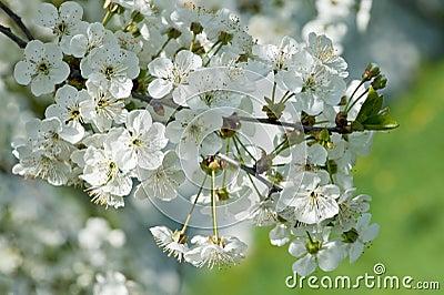 Fragrant apple tree flowers