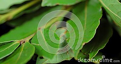 Fragrant Bay leaf rotates slowly. Macro background stock footage