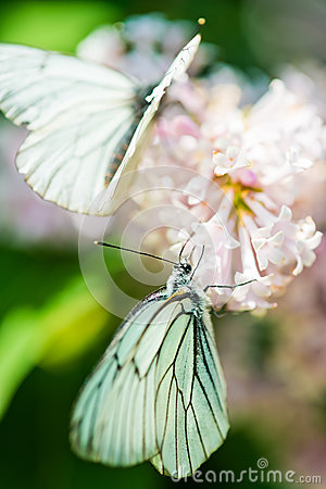 Free Fragrant Lilac Blossoms And Butterfly Stock Image - 25589681
