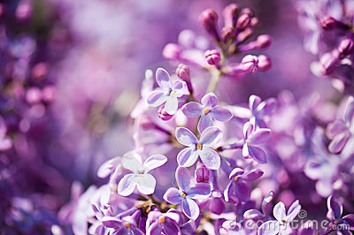 Fragrant lilac blossoms (Syringa vulgaris)