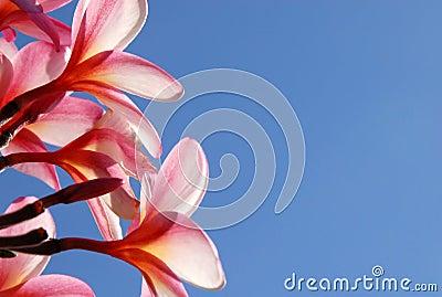 Fragrant Plumeria Flower
