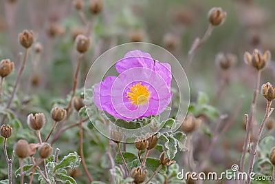 Fragrant Rockrose Flower
