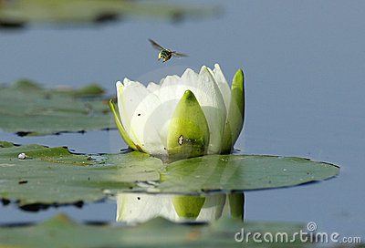 Fragrant Water Lily and Bee