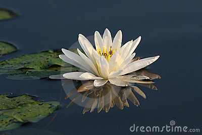 Fragrant Water Lily with Lily Pads