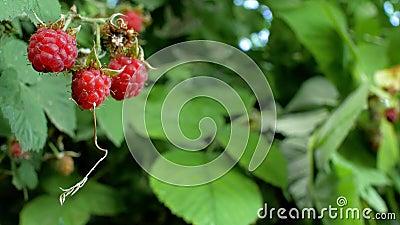 Framboise juteuse mûre rouge dans le jardin, une grande baie douce de framboise Le rendement de la framboise est une bonne baie p clips vidéos