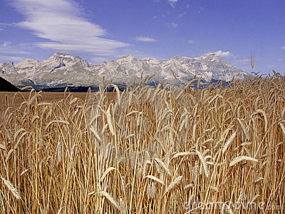 France cornfield devoluy region haute alpes french alps
