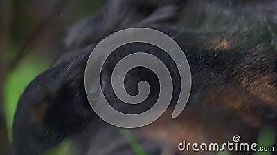 Francuski pasterskiego psa oko zbiory