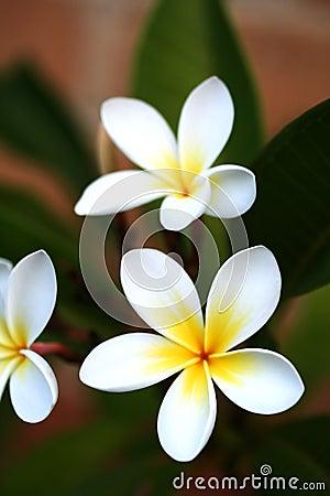 Free Frangipani Stock Images - 1244224