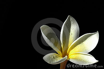 Frangipani from the dark