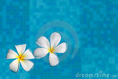 Frangipani flower in water