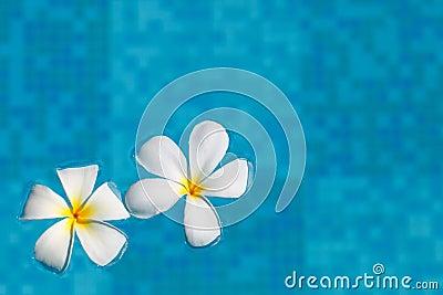 Frangipani flower in water