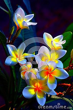 Free Frangipani Flowers Stock Photo - 10997030