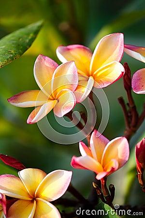 Free Frangipani Flowers Royalty Free Stock Photography - 17731047