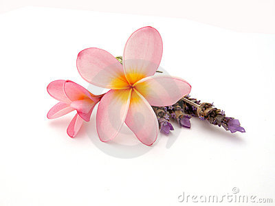 Frangipani with lavender - Plumeria