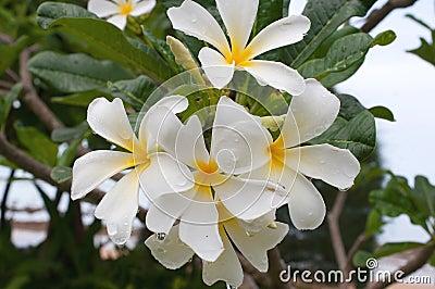 Frangipani, Plumeria, Templetree