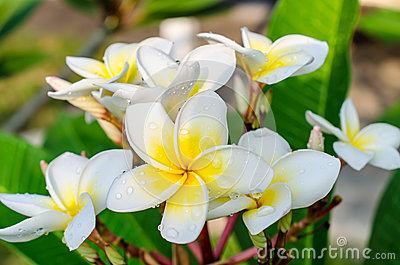 Frangipani or plumeria tropical flower with water drops