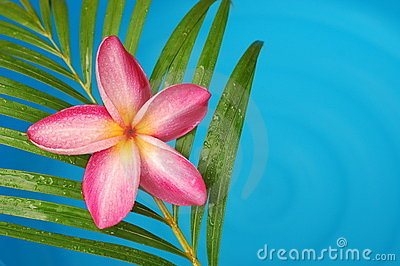 Frangipani by the pool side