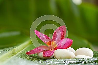 Frangipani and Rock on banana leaf for spa room