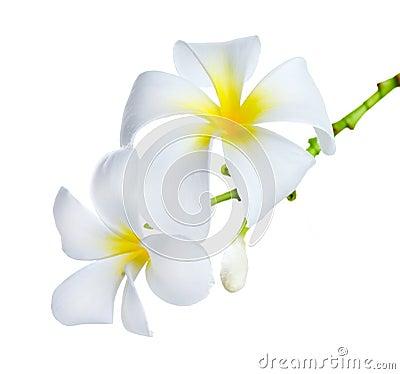 Free Frangipani Spa Flowers Royalty Free Stock Image - 22266966