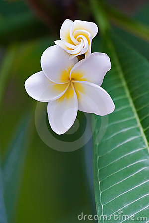 Free Frangipani Tropical Flower Royalty Free Stock Images - 1923439