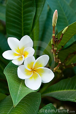 Free Frangipani Tropical Flowers Stock Photography - 2086832