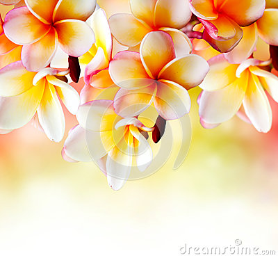 Free Frangipani Tropical Spa Flower Stock Photography - 25070882
