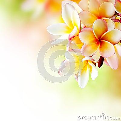Free Frangipani Tropical Spa Flower Stock Photos - 25070883
