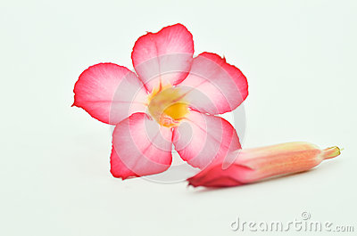 Frangipani with white background